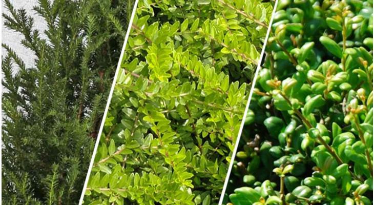 Buchsbaum-Alternativen: Das sind die beliebtesten