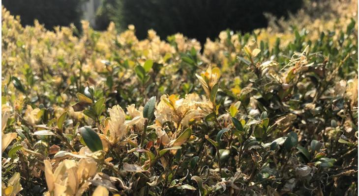 Buchsbaum-Krankheit bekämpfen oder Buchsbaum ersetzen?