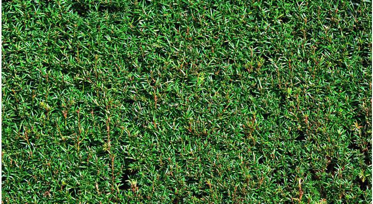 Warum so viele Gartenbesitzer eine Nadelbaumhecke wählen
