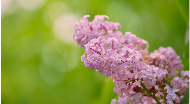 Close-up des Gemeinen Flieders