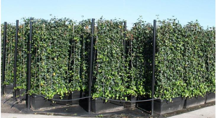 Fertig-Hecken pflanzen