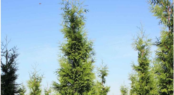 Oft gestellte Fragen über die Thuja (Lebensbaum)
