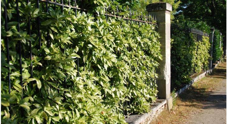 Diese Heckenpflanzen bleiben das ganze Jahr über grün