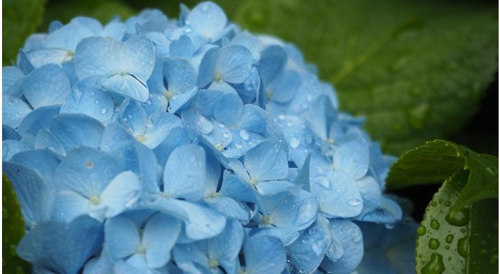 Heckenpflanzen nassem trockenem Sommerwetter