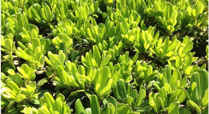 Immergrüne Hecken in informellen Gärten