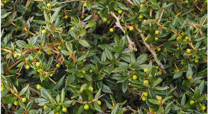 Immergrüne Heckenpflanzen für einbruchhemmende Hecken