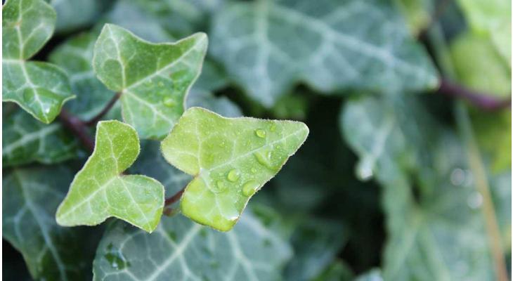 Welche immergrünen Laubpflanzen sind für welche Hecken geeignet