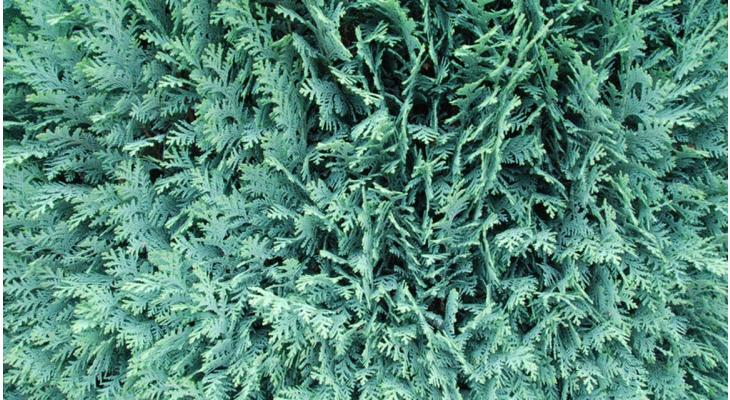 Scheinzypresse oder Leyland-Zypresse