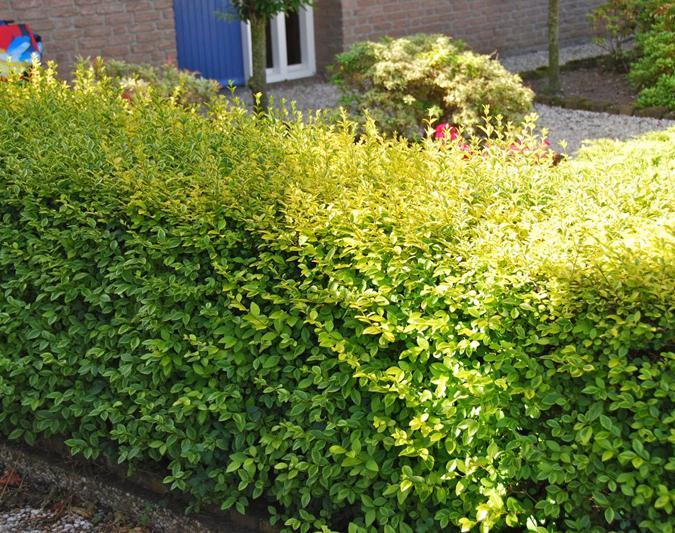 Goldliguster Heckenpflanzen im Container 60 bis 80 cm Ligustrum Aureum 10 Stück