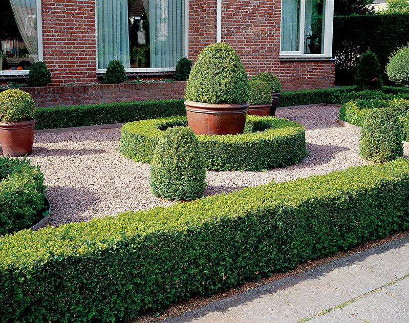 buxus sempervirens buchsbaum buche. Black Bedroom Furniture Sets. Home Design Ideas