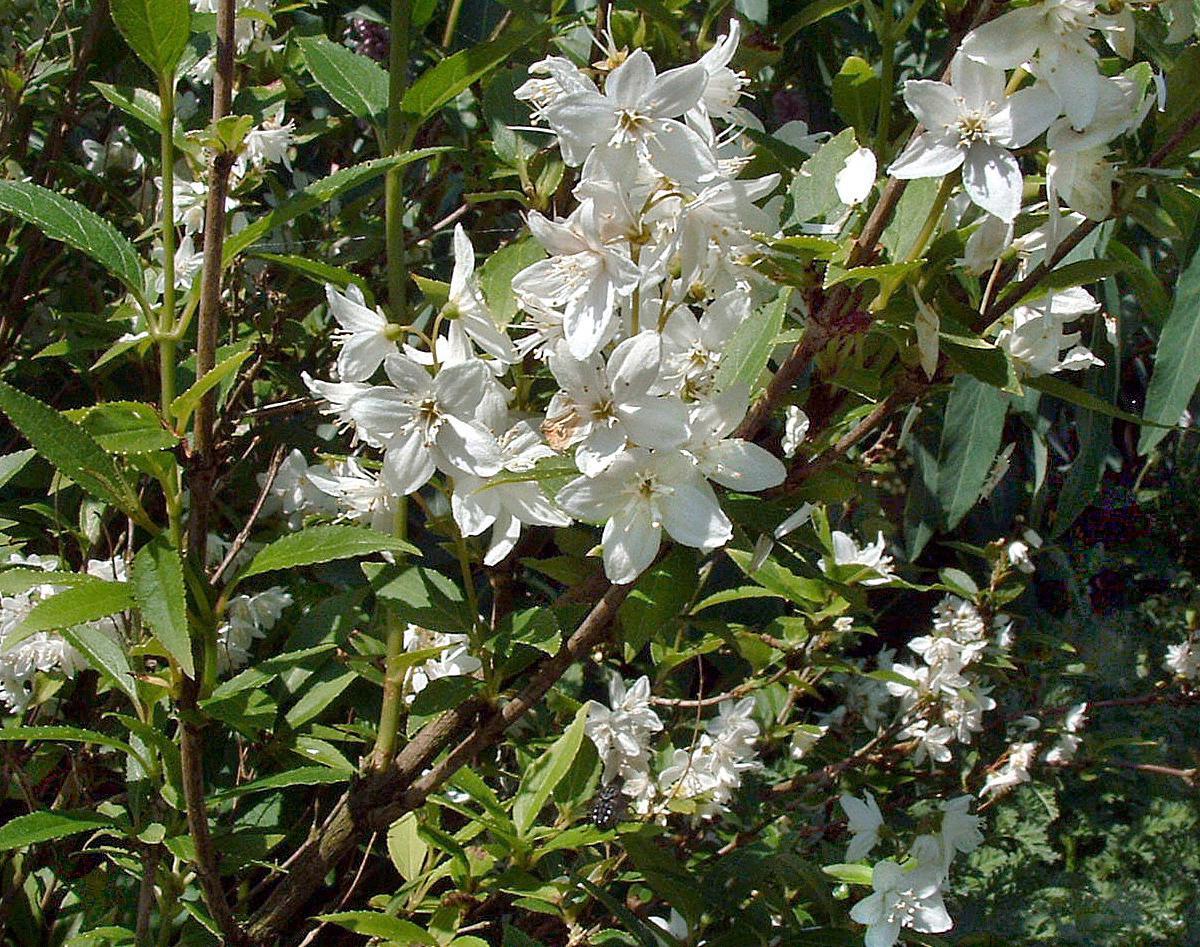 Heckenpflanzen blühende Straucher