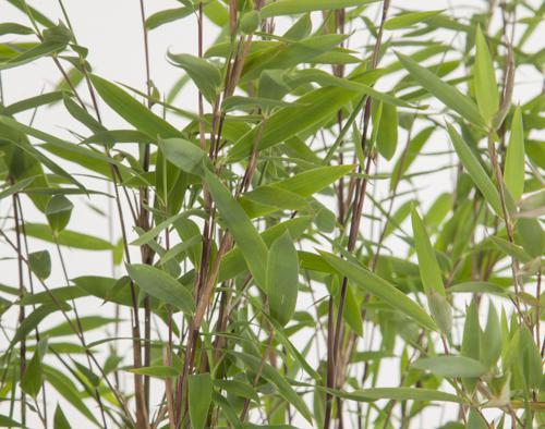 Bambushecke Spitzenqualität Bambus Fargesia Online Kaufen