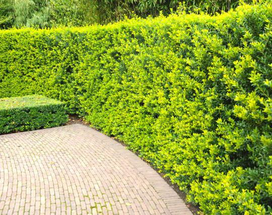 berg ilex 39 green hedge 39 japanische stechpalme. Black Bedroom Furniture Sets. Home Design Ideas