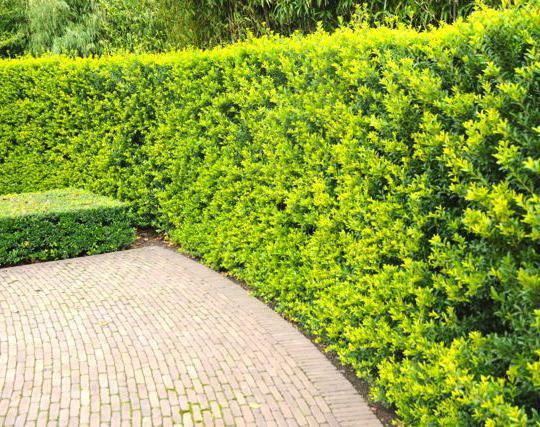 berg ilex 39 green hedge 39 japanische stechpalme immergr ne heckenpflanzen. Black Bedroom Furniture Sets. Home Design Ideas