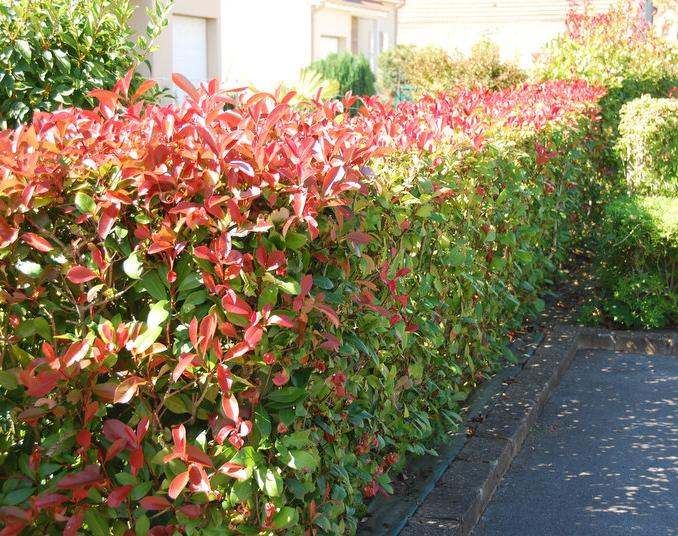 Photinia Glanzmispel Red Robin