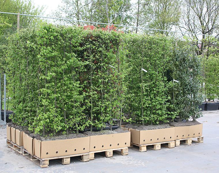 Heckenpflanzendirekt.de bietet verschiedene Arten von Fertighecken an ...
