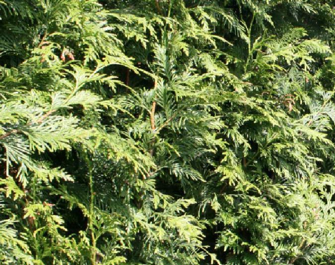 Lebensbaum Schneiden