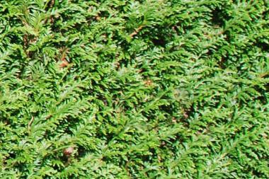 Lebensbaum 'Atrovirens'