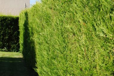 Gelbe Leyland-Zypresse