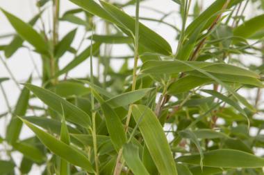 Bambushecke Spitzenqualitat Bambus Fargesia Online Kaufen