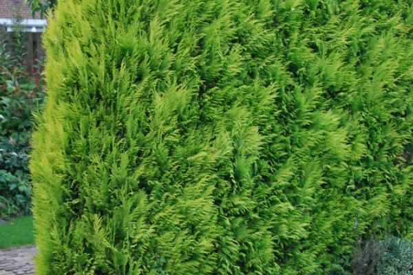 Gelbe Scheinzypresse