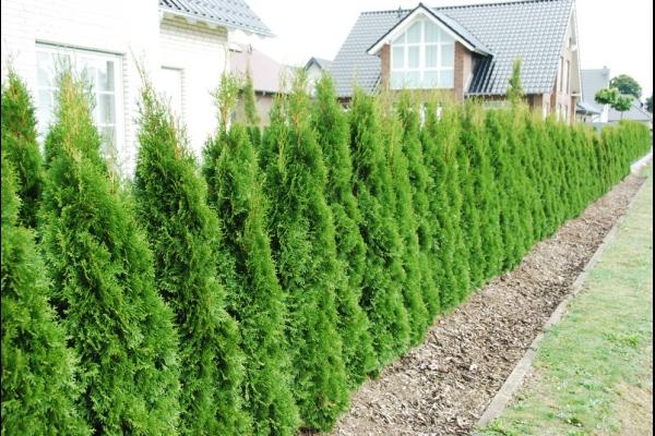 Thuja Smaragd Schneiden lebensbaum schneiden