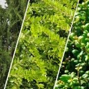 Buchsbaum-Ersatz