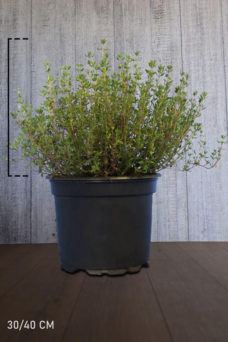 Thymus officinalis Topf 15-20 cm