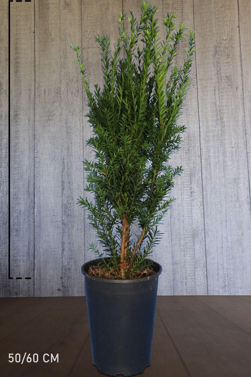 Nicht-fruchtende Becher-Eibe  Topf 50-60 cm