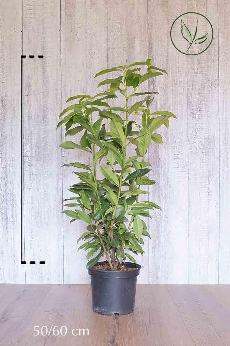 Kirschlorbeer 'Genolia'® Topf 50-60 cm