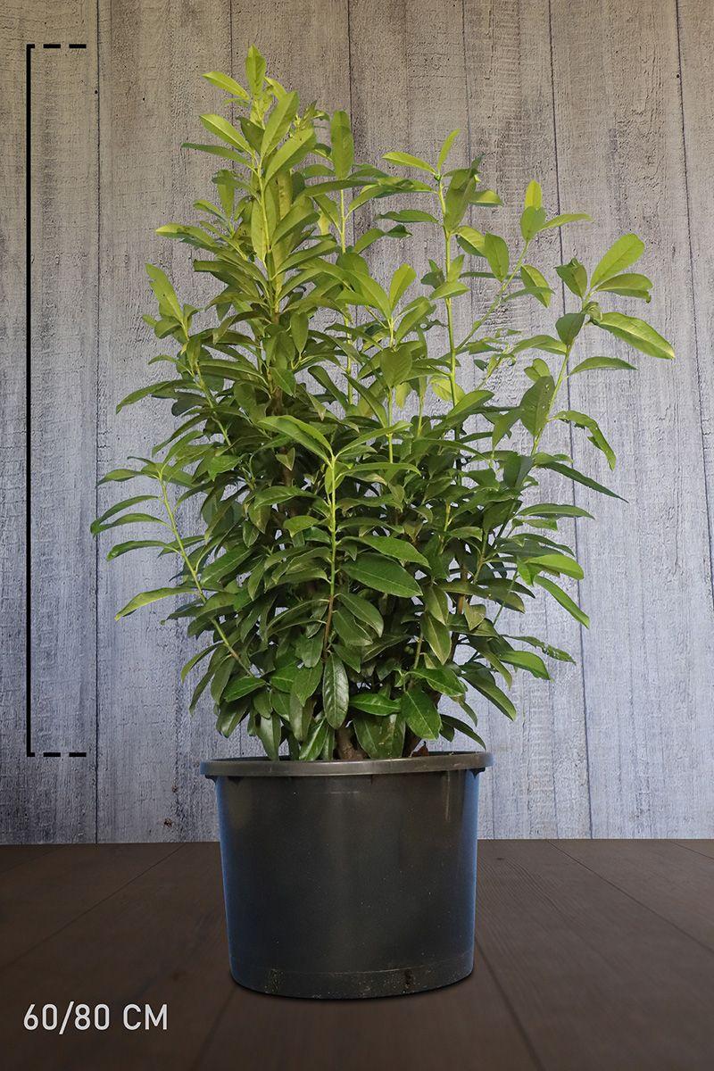 Kirschlorbeer 'Genolia'® Topf 60-80 cm