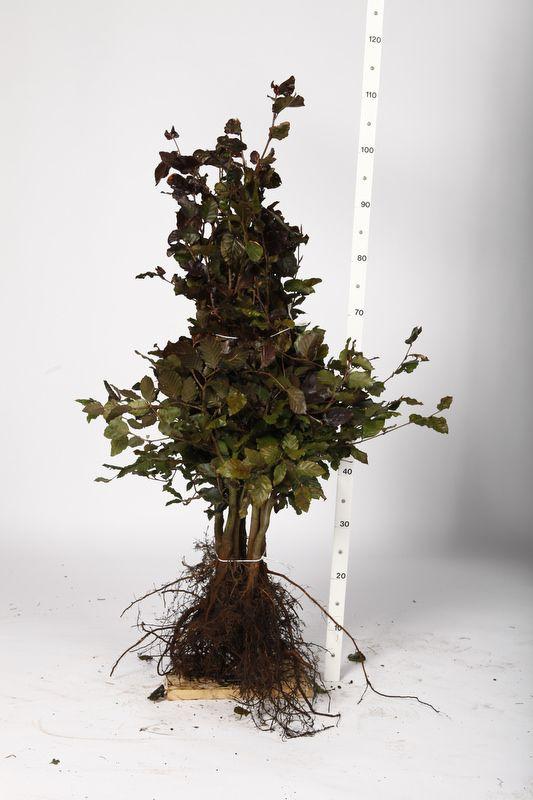Blutbuche   Wurzelware 80-100 cm