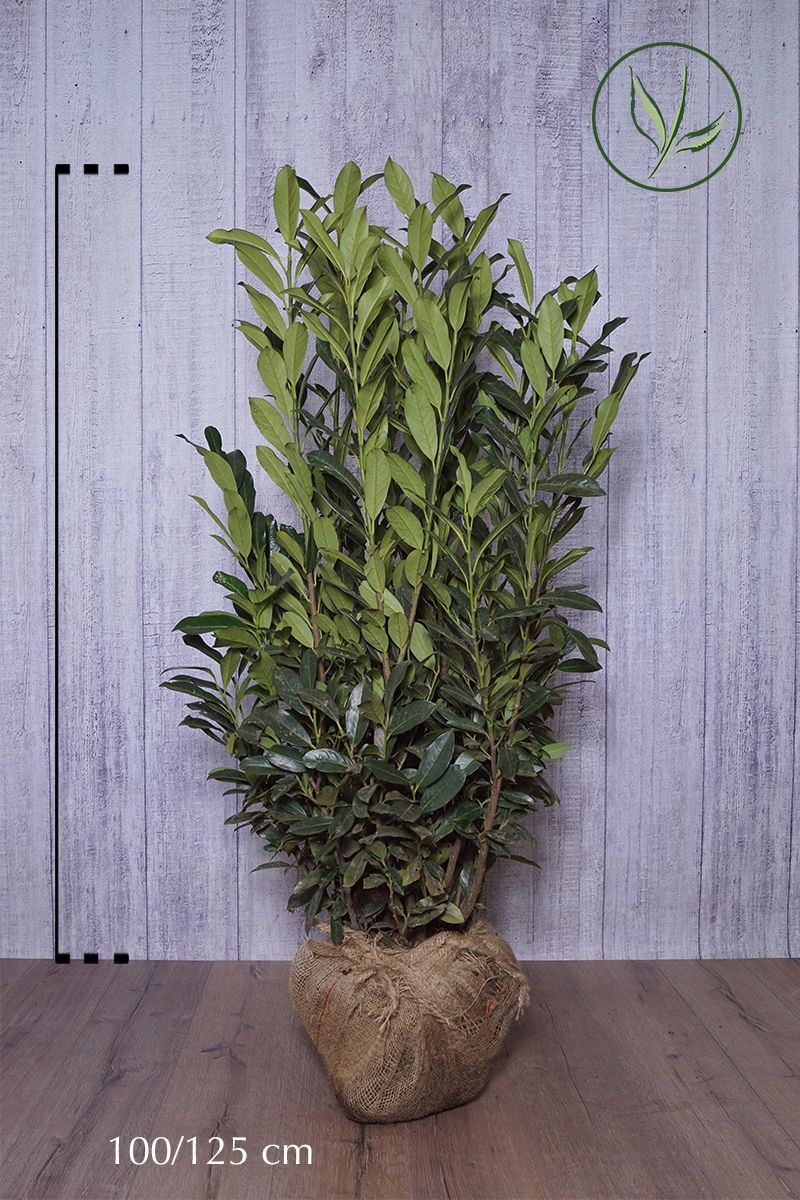 Kirschlorbeer 'Elly'® Wurzelballen 100-125 cm
