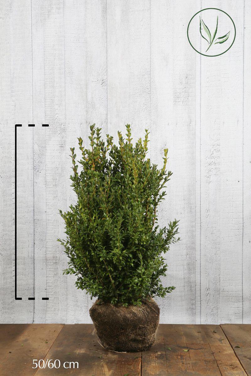 Buchsbaum - Sträucher Wurzelballen 50-60 cm