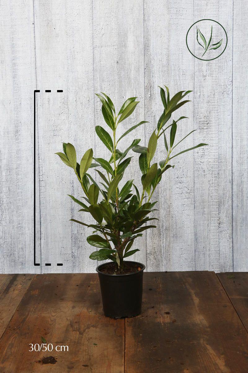 Kirschlorbeer 'Caucasica'  Topf 40-50 cm