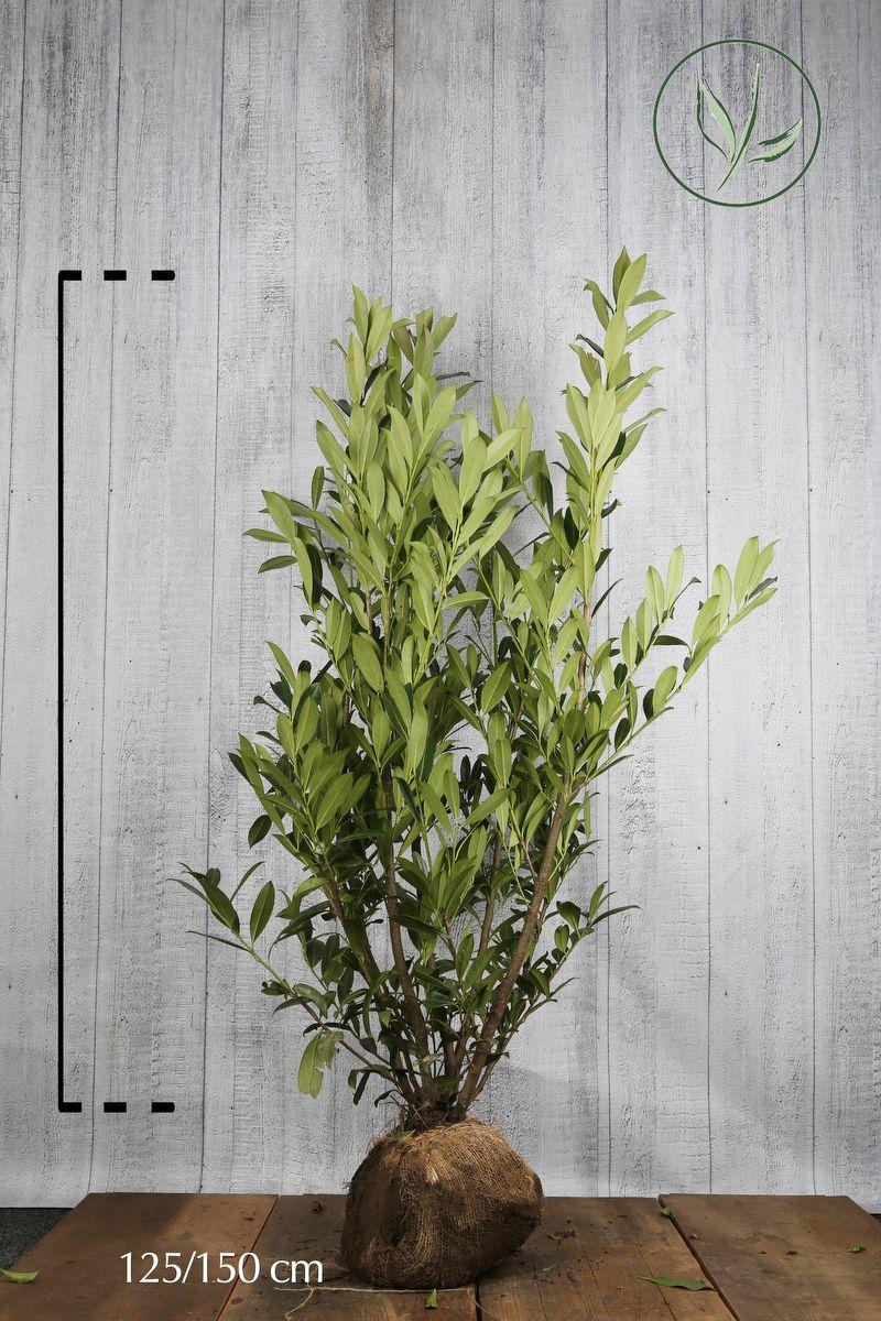 Kirschlorbeer 'Caucasica'  Wurzelballen 125-150 cm