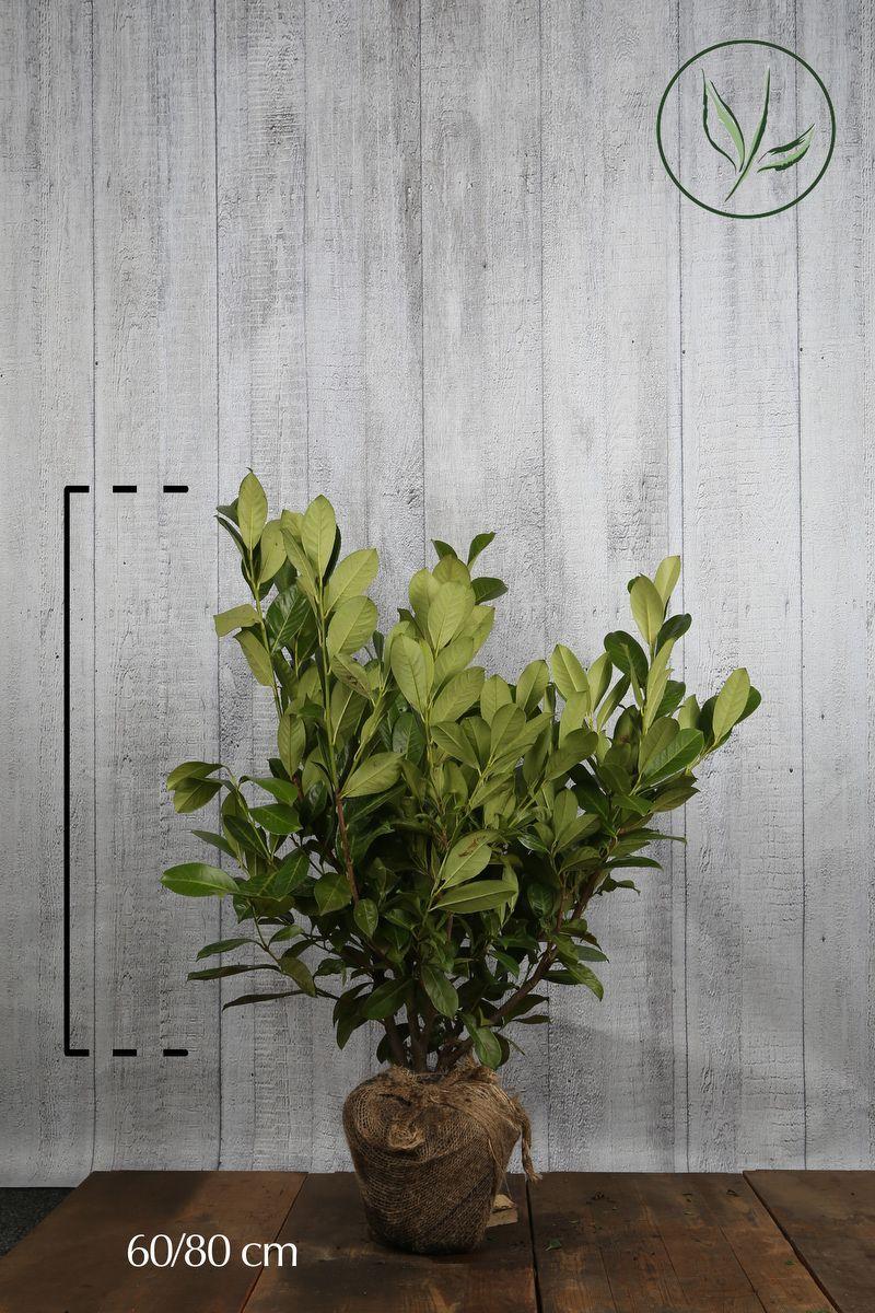 Großblättriger Kirschlorbeer  Wurzelballen 60-80 cm