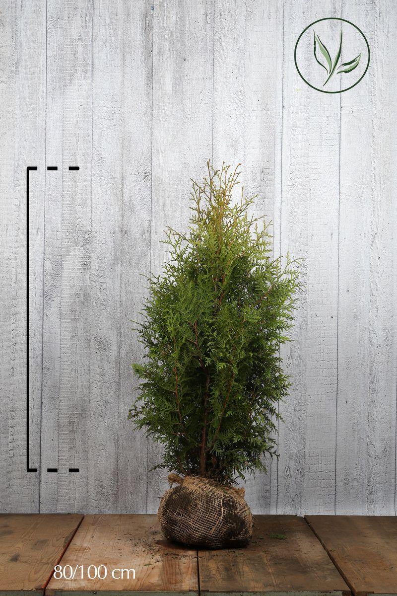 Lebensbaum 'Brabant' Wurzelballen 80-100 cm Extra Qualtität