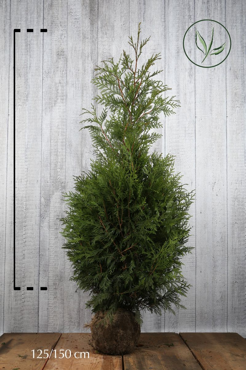 Lebensbaum 'Martin' Wurzelballen 125-150 cm Extra Qualtität
