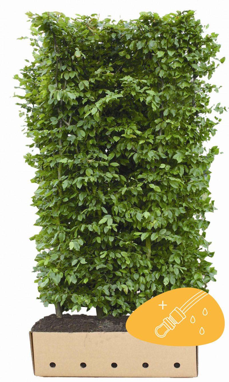 Hainbuche, Weißbuche  Fertig-Hecken 200 cm Fertig-Hecken