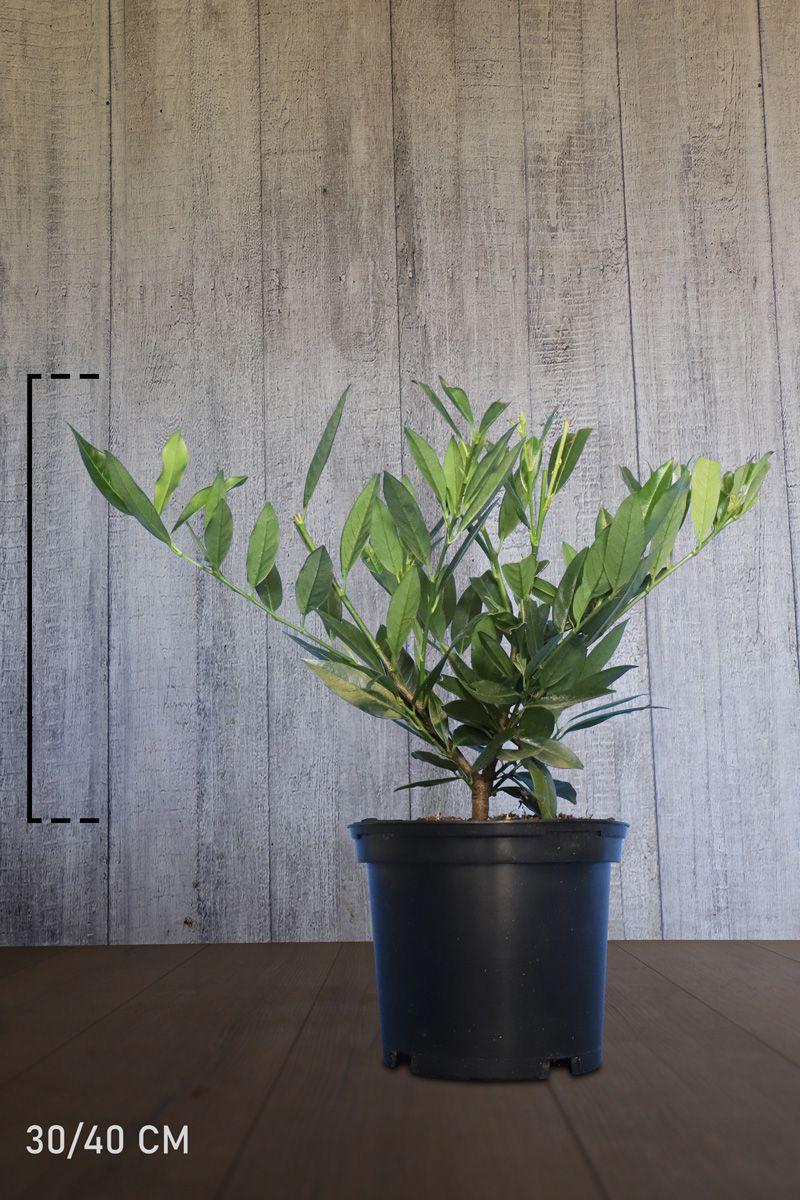 Breitwüchsiger Kirschlorbeer  Topf 40-50 cm Extra Qualtität