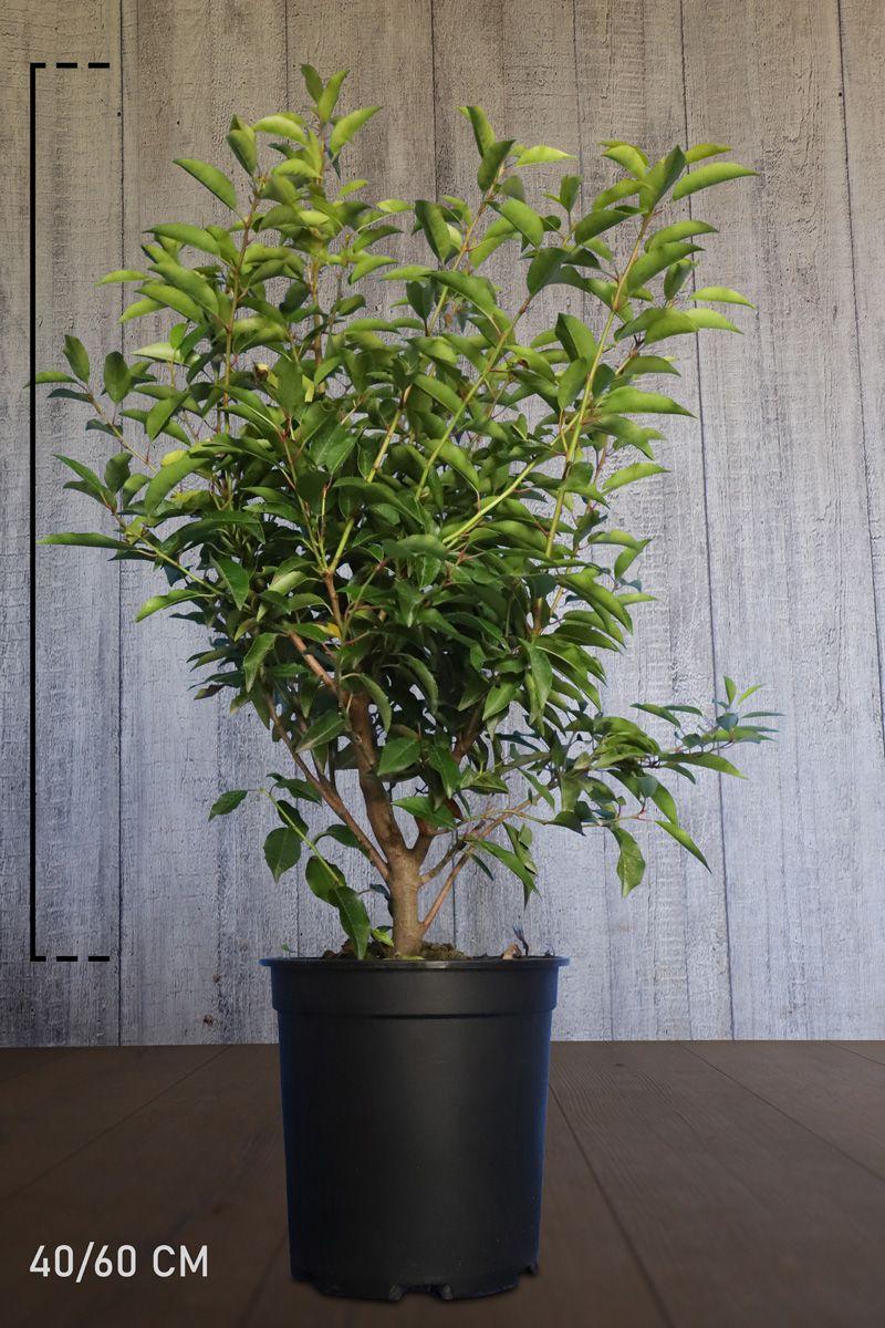 Portugiesischer Kirschlorbeer  Topf 40-60 cm
