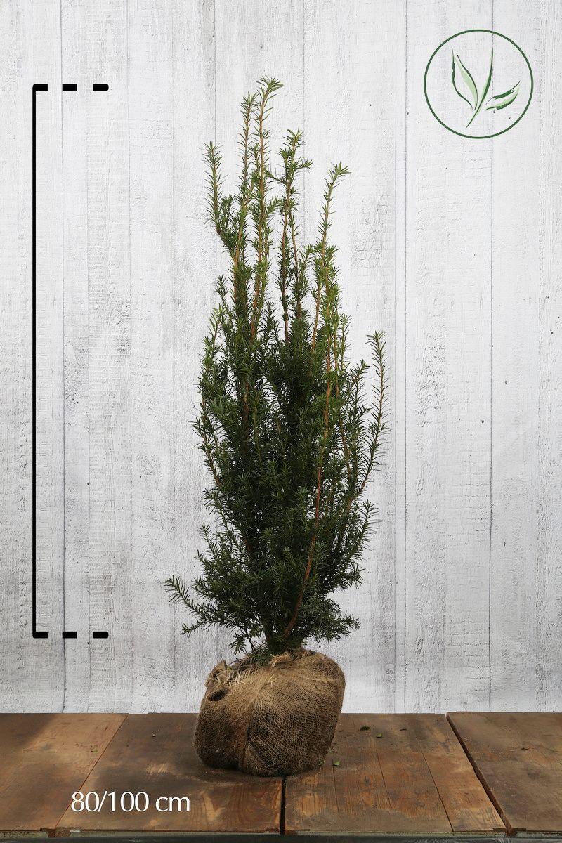 Fruchtende Becher-Eibe Wurzelballen 80-100 cm