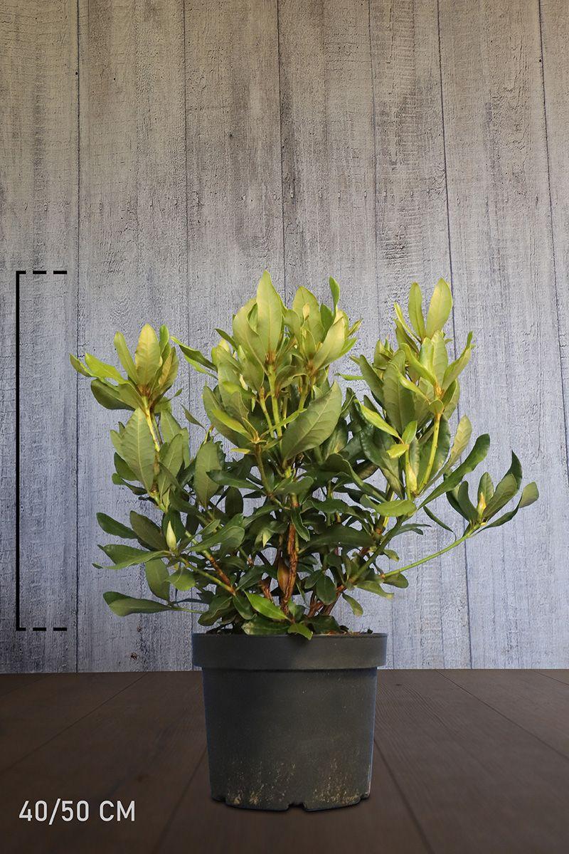 Rhododendron 'Nova Zembla'  Topf 40-50 cm Extra Qualtität