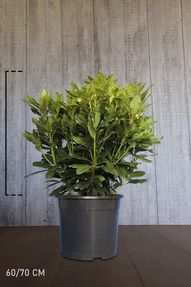 Rhododendron 'Madame Masson'  Topf 60-70 cm Extra Qualtität