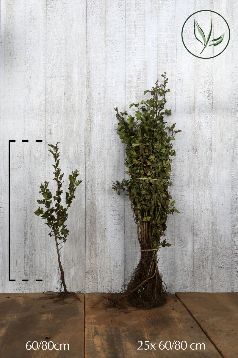 Eingriffeliger Weißdorn  Wurzelware 60-80 cm