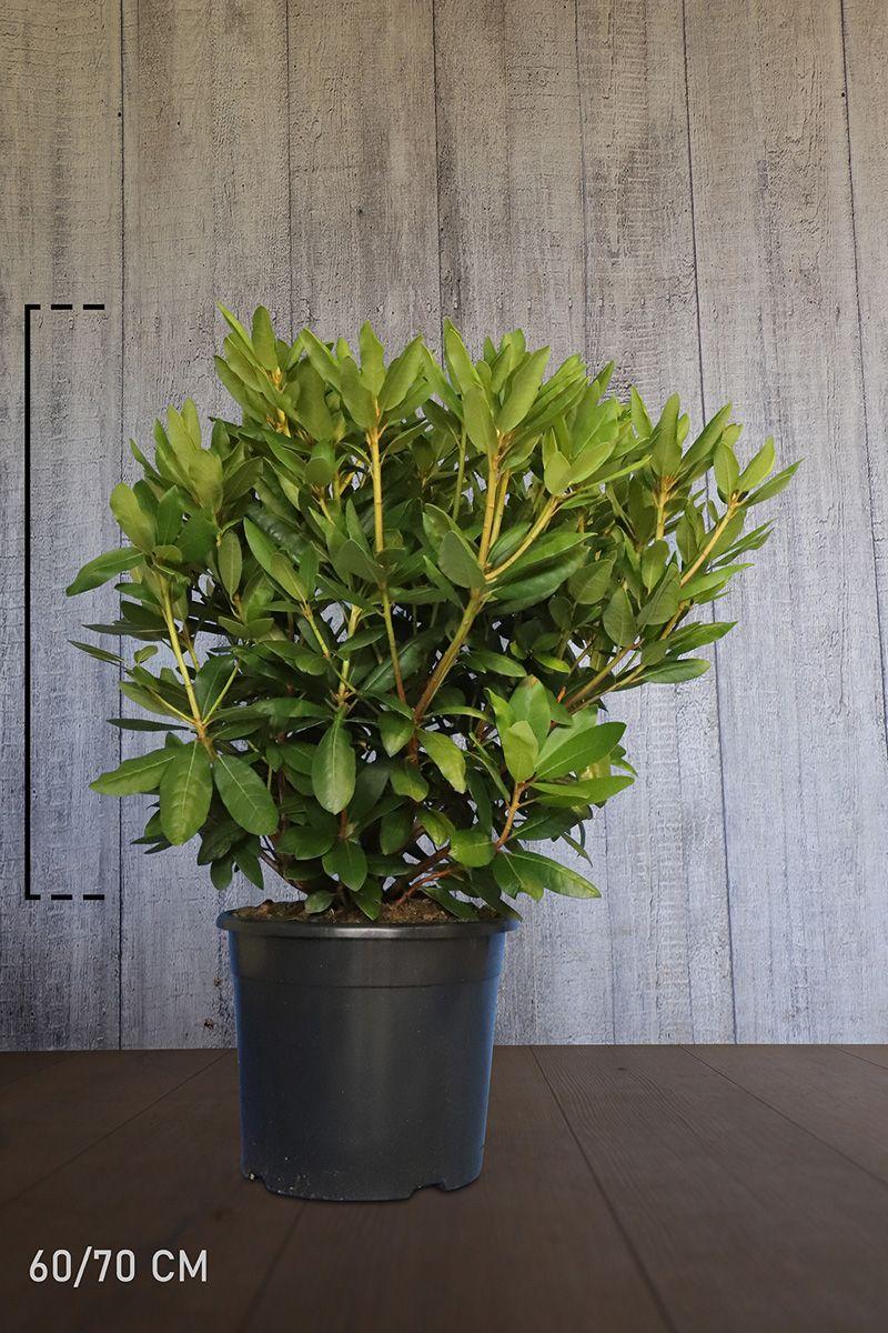 Rhododendron 'Roseum Elegans' Topf 60-70 cm Extra Qualtität