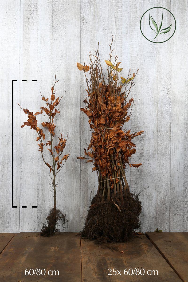 Rotbuche  Wurzelware 60-80 cm Extra Qualtität