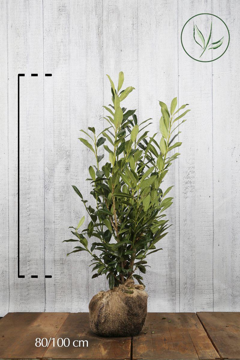 Kirschlorbeer 'Caucasica'  Wurzelballen 80-100 cm