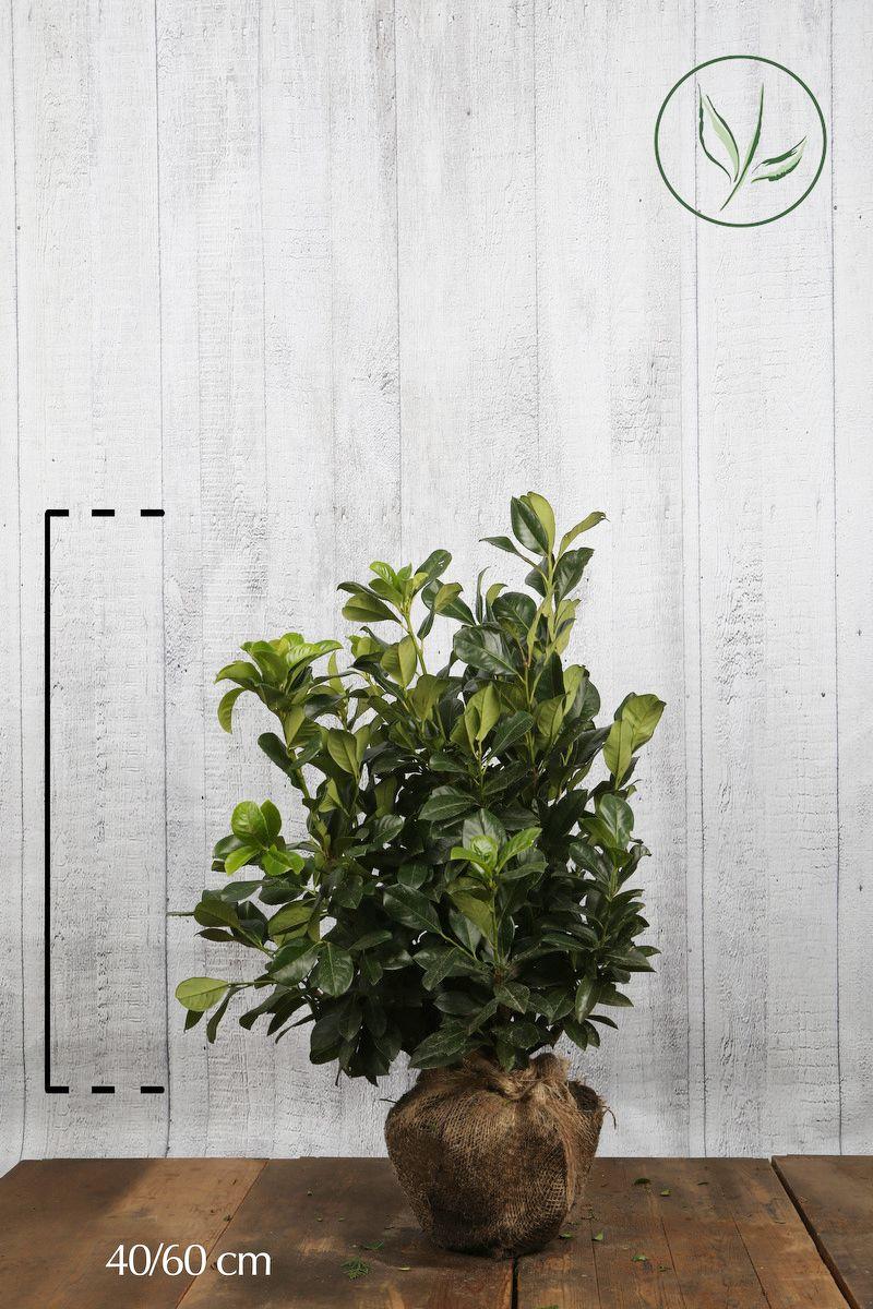 Kirschlorbeer 'Etna'  Wurzelballen 40-60 cm Extra Qualtität